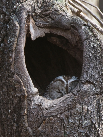 フクロウ樹洞140425