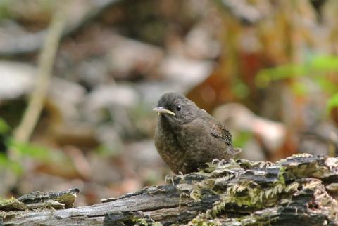 ミソサザイ幼鳥140525