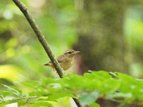 ヤブサメ幼鳥140702