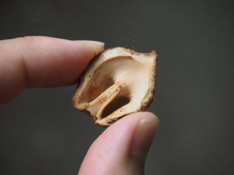 クルミ食痕140815-2