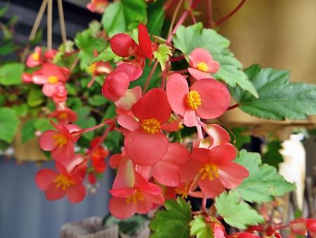 ピンクシャワー 花