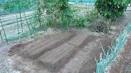 小松菜とカブ 畝