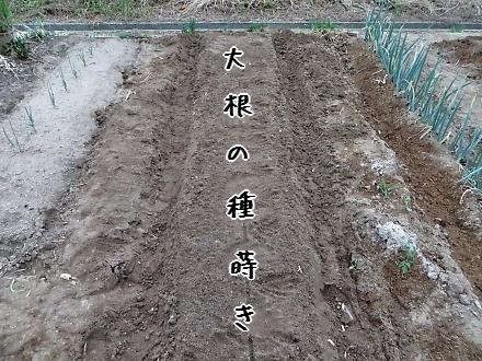 大根の種蒔き