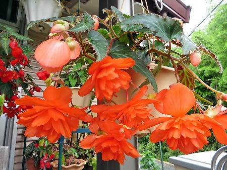 球根ベゴニア 懸垂型 オレンジ