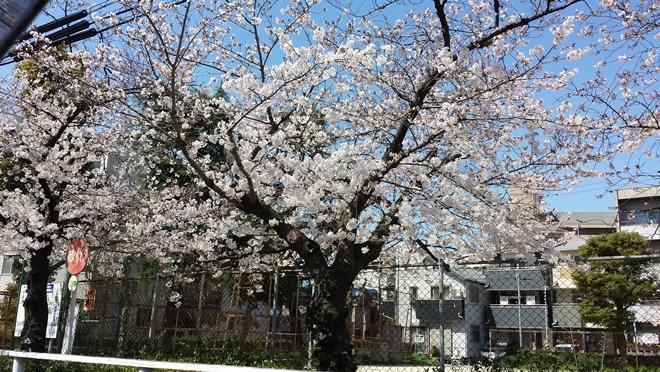 桜 だいどう