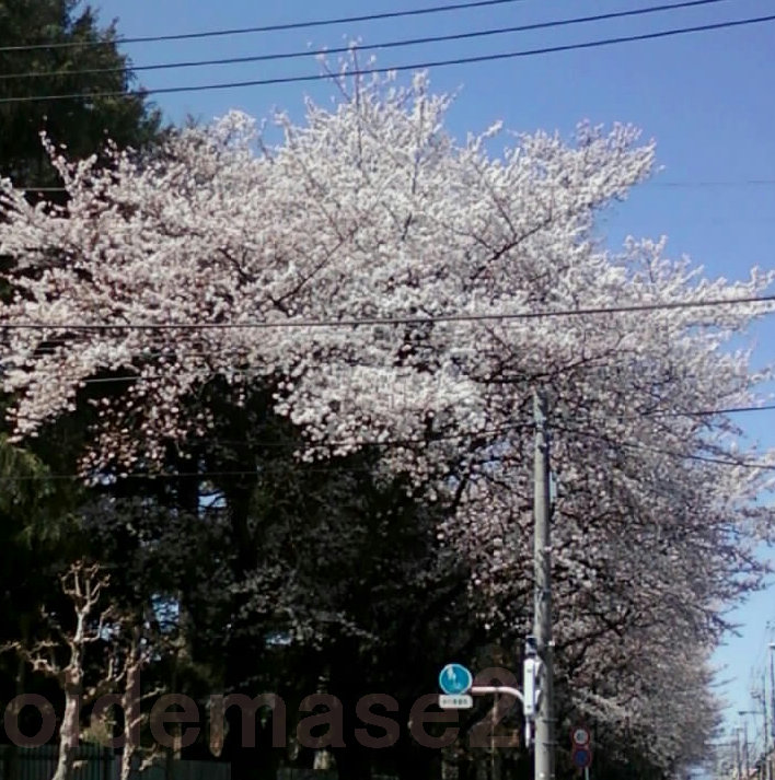 20140331桜oidemase2 500_500