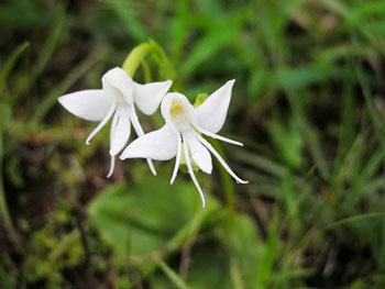 angelorchid.jpg