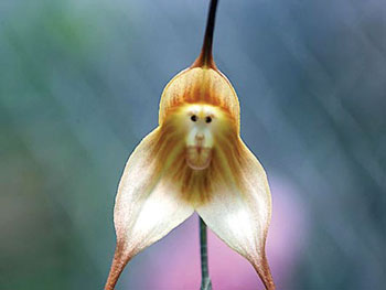 flower-has-monkey-face-1340.jpg