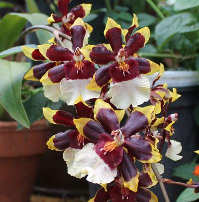 orchidmorph03.jpg