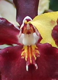 orchidmorph04.jpg