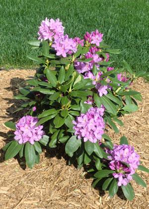 rhododendron06011401.jpg