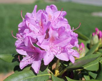 rhododendron06011402.jpg