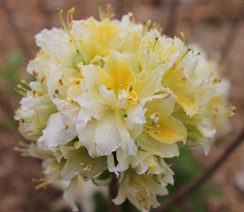 rhododendron06011403.jpg