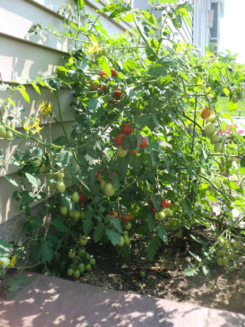 tomatoes1401.jpg