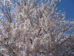 2015桜 002