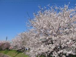 2015桜 001