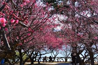 南公園梅まつり