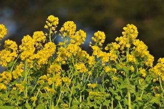 中池 菜の花