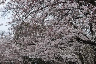 羽根大池 桜