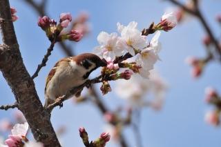 羽根大池 雀と桜