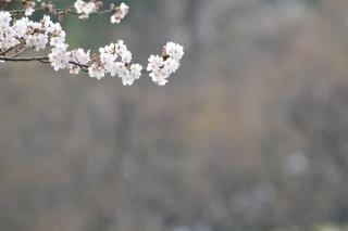 南公園 桜