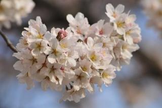 柱公園 桜