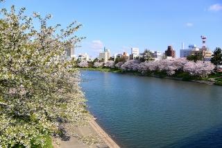 桜 乙川(菅生川)河川敷