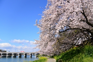 桜と殿橋 乙川(菅生川)河川敷