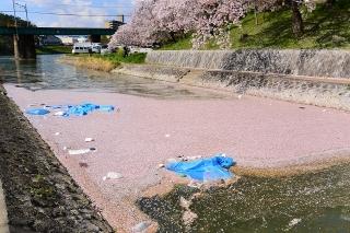 桜 伊賀川 河川敷