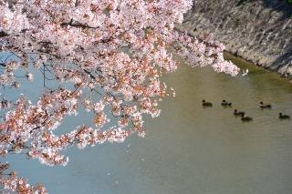 桜と鴨  伊賀川