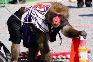 猿回し 太郎次郎一門 アポロ