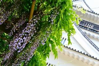 岡崎公園 五万石藤まつり