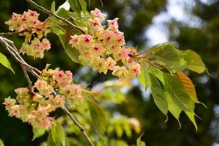 香恋の館 鬱金桜