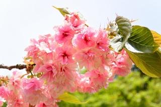 香恋の館 御衣黄桜