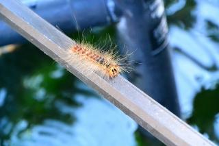 マイマイガの幼虫(毛虫)