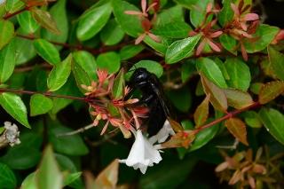 タイワンタケクマバチ