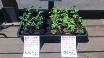 201405ミニトマト苗販売