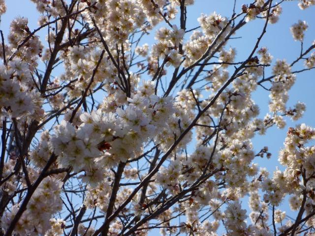 3/19 桜 1