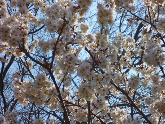3/19 桜 2