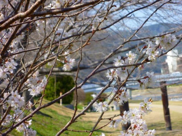3/19 桜 3