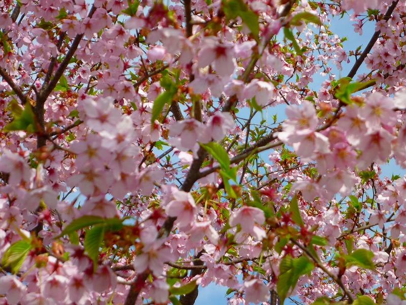 植物園 桜2