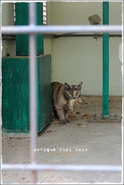タイ 野良猫 地域猫 stray alley cat Thailand แมว ไทย ゴルフ場 golf course สนามกอล์ฟ