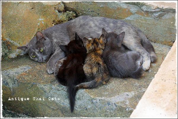 タイ 野良猫 地域猫 stray alley cat Thailand แมว ไทย アンティークタイキャット