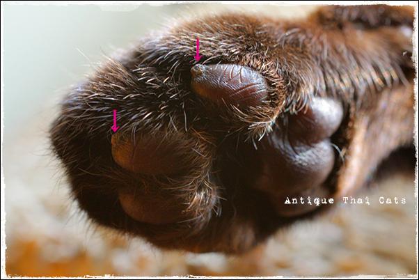 猫 cat แมว ไทย アンティークタイキャットシャム猫 Siamese วิเชียรมาศ タイ Thailand