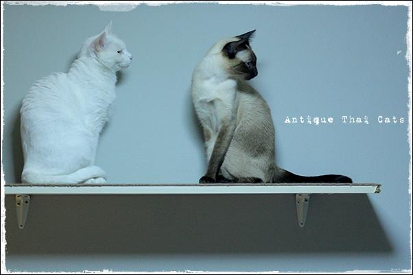 多頭飼い タイ猫 カオマニー シャム猫 Khaomanee Siamese cat แมวไทย ขาวมณี วิเชียรมาศ