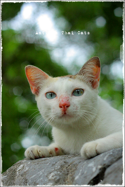 タイ 野良猫 地域猫 stray alley cat Thailand แมว ไทย アンティークタイキャット ルンピニー公園 Lumphini park สวนลุมพินี