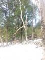 積雪による倒木ですー(´Д` )