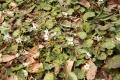 落ち葉の隙間から春の訪れを告げるのです。