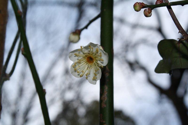 ひっそりと咲いている梅の花。