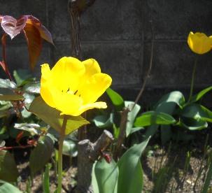 チューリップ黄14